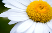 daisy wall art, flower art photos, digital art floral, flower canvas, floral art work