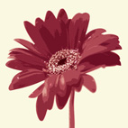 gerbera on canvas, art flower work, flower art photos, digital art floral, flower canvas, floral art work