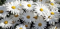 daisy on canvas, flower art photos, digital art floral, flower canvas, floral art work