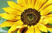 sunflower canvas art, flower art photos, digital art floral, floral art work